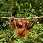 Borneo sepilok orang oetan centre